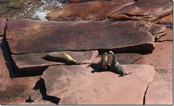sea lion argue