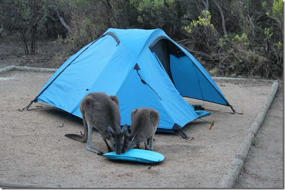 wallaby Joey drink
