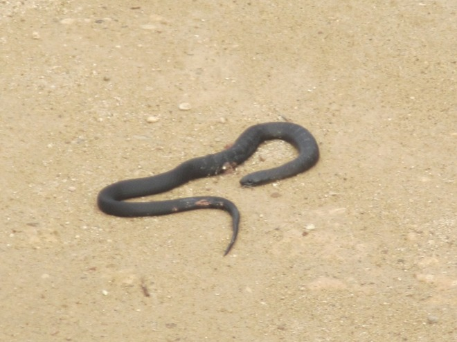 Black snakes - an unusual sight in the colder months