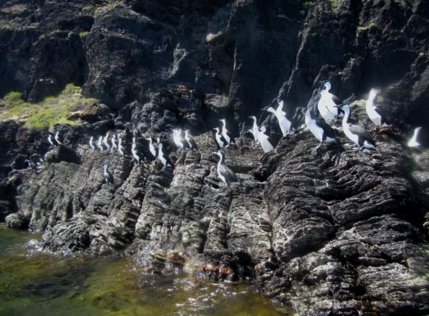 Pied Cormorants, commonly called Shags all ready for take-off
