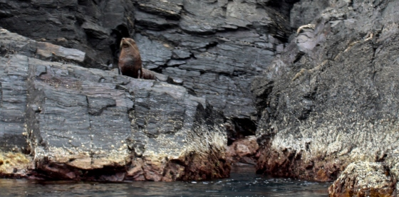 New Zealand Fur seals enjoying the calm waters