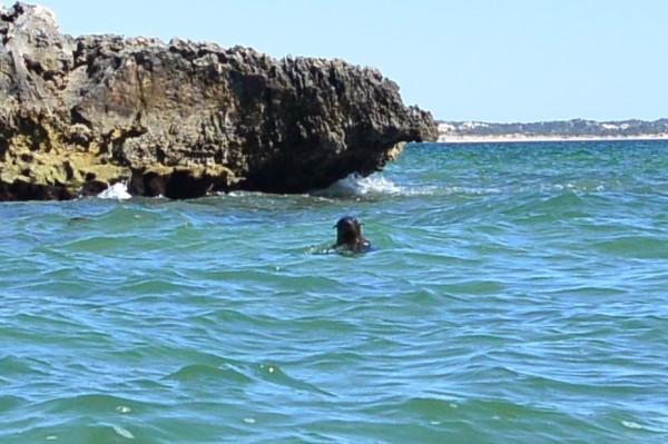 NZ fur seals playing around the kayaks