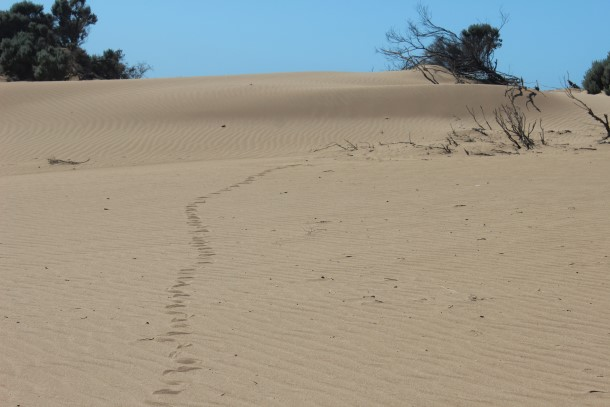 Snake trails across the dune which were blown away within minutes